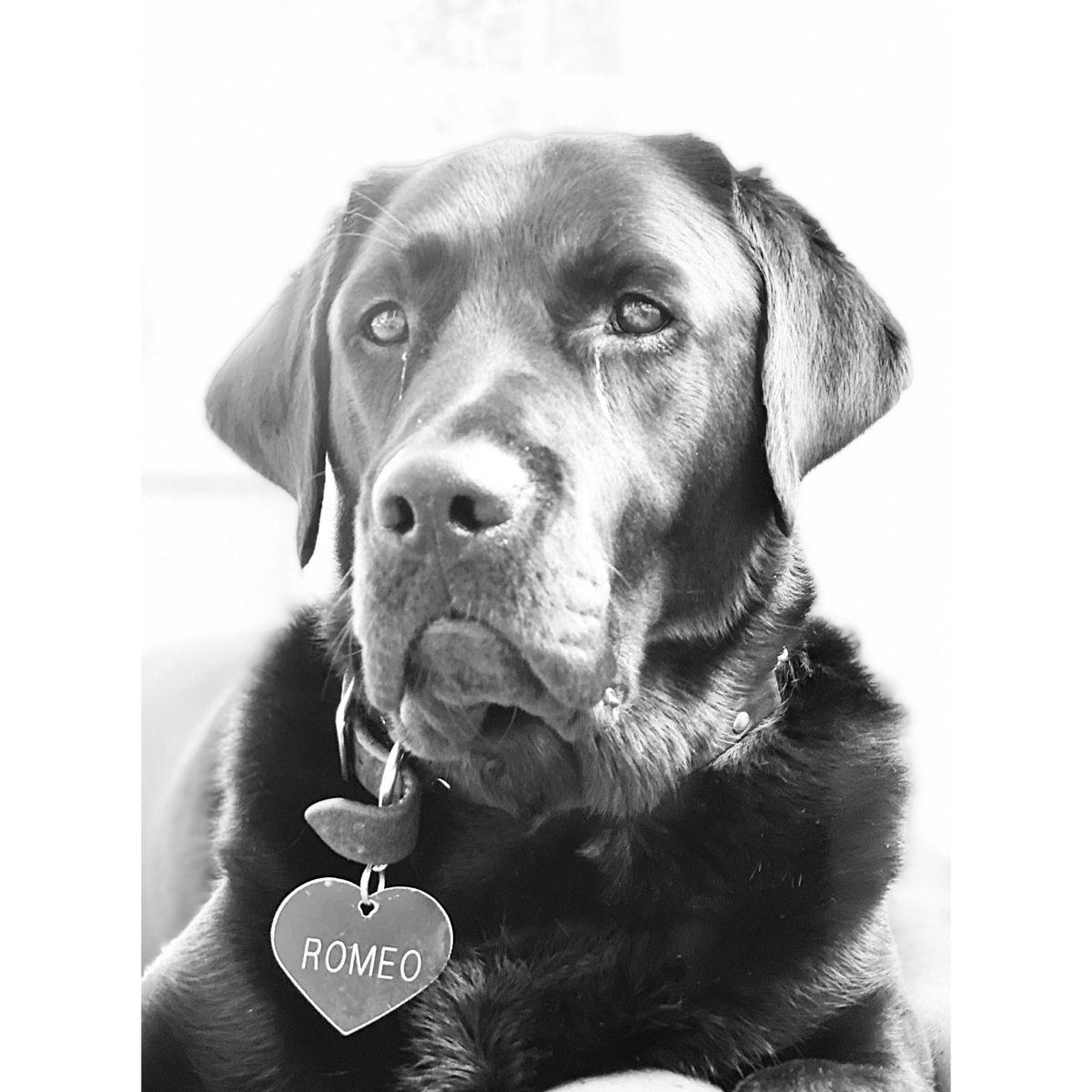 Romeo Oh Romeo In 2020 Dogs Animals Labrador Retriever