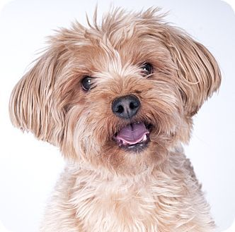Chicago Il Yorkie Yorkshire Terrier Silky Terrier Mix Meet Kolby A Dog For Adoption Http Www Yorkie Yorkshire Terrier Silky Terrier Yorkshire Terrier