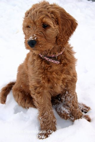 This Is A Miniature Golden Doodle Saw One This Morning And Fell