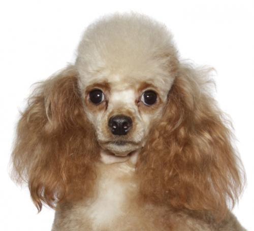 Adopt Cecelia Cici On Petfinder Dog Adoption Poodle Dog Kitten Adoption