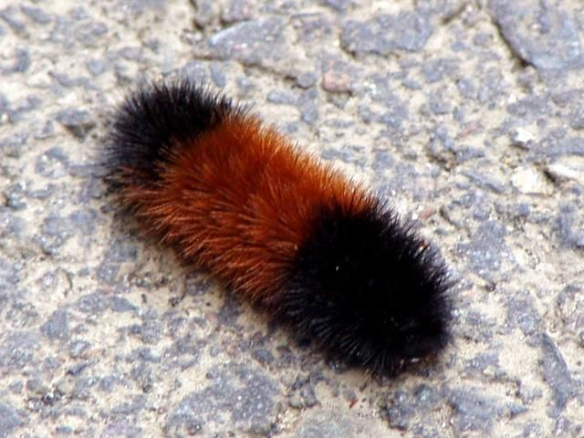 What's Up with the Woolly Worm?
