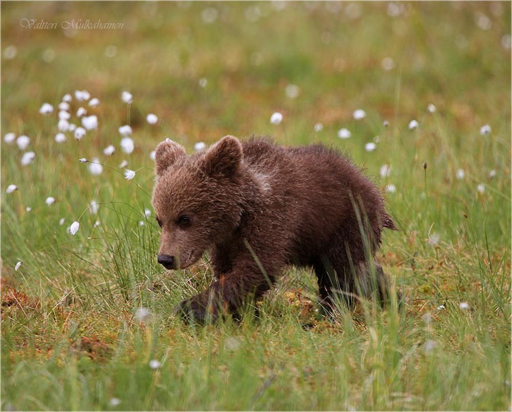 Жизнь лесной братвы ...Photographer: Valtteri Mulkahainen ...