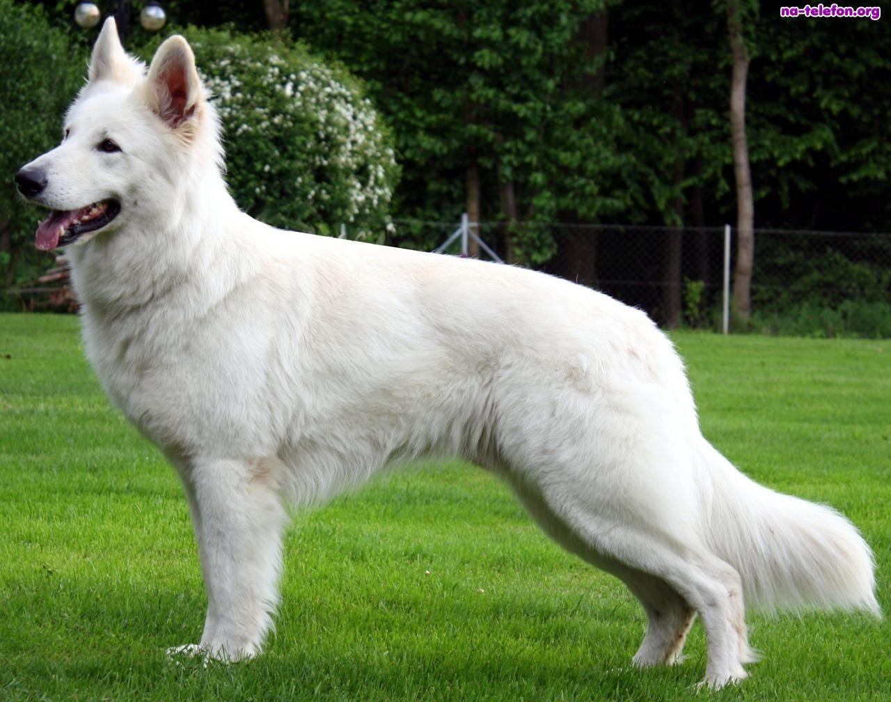 Laka Bialy Owczarek Szwajcarski White German Shepherd Shepherd