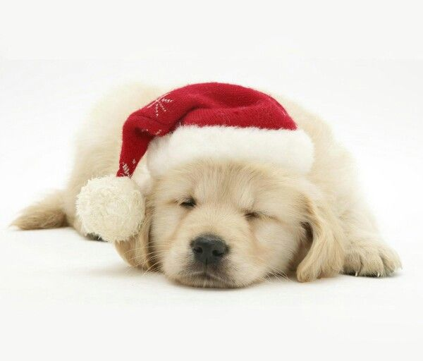 Golden Retriever Christmas Puppy Christmas Puppy Christmas Dog