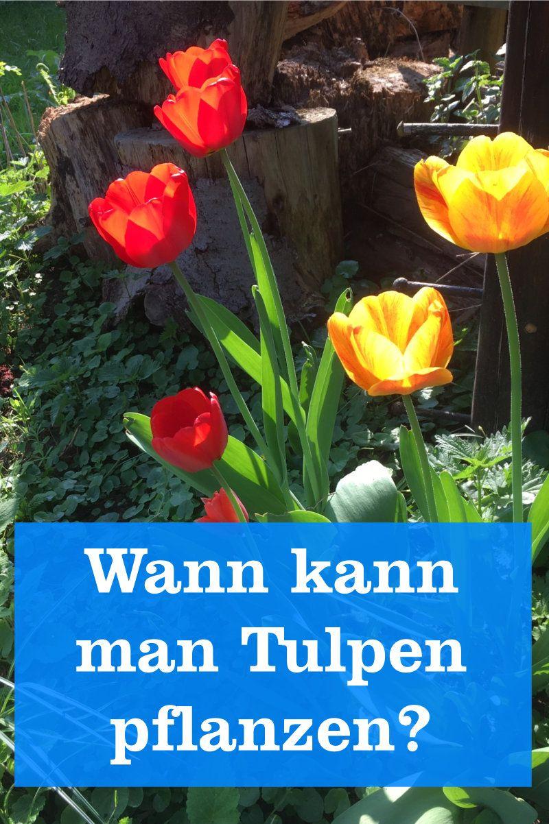 Wann Tulpen Pflanzen