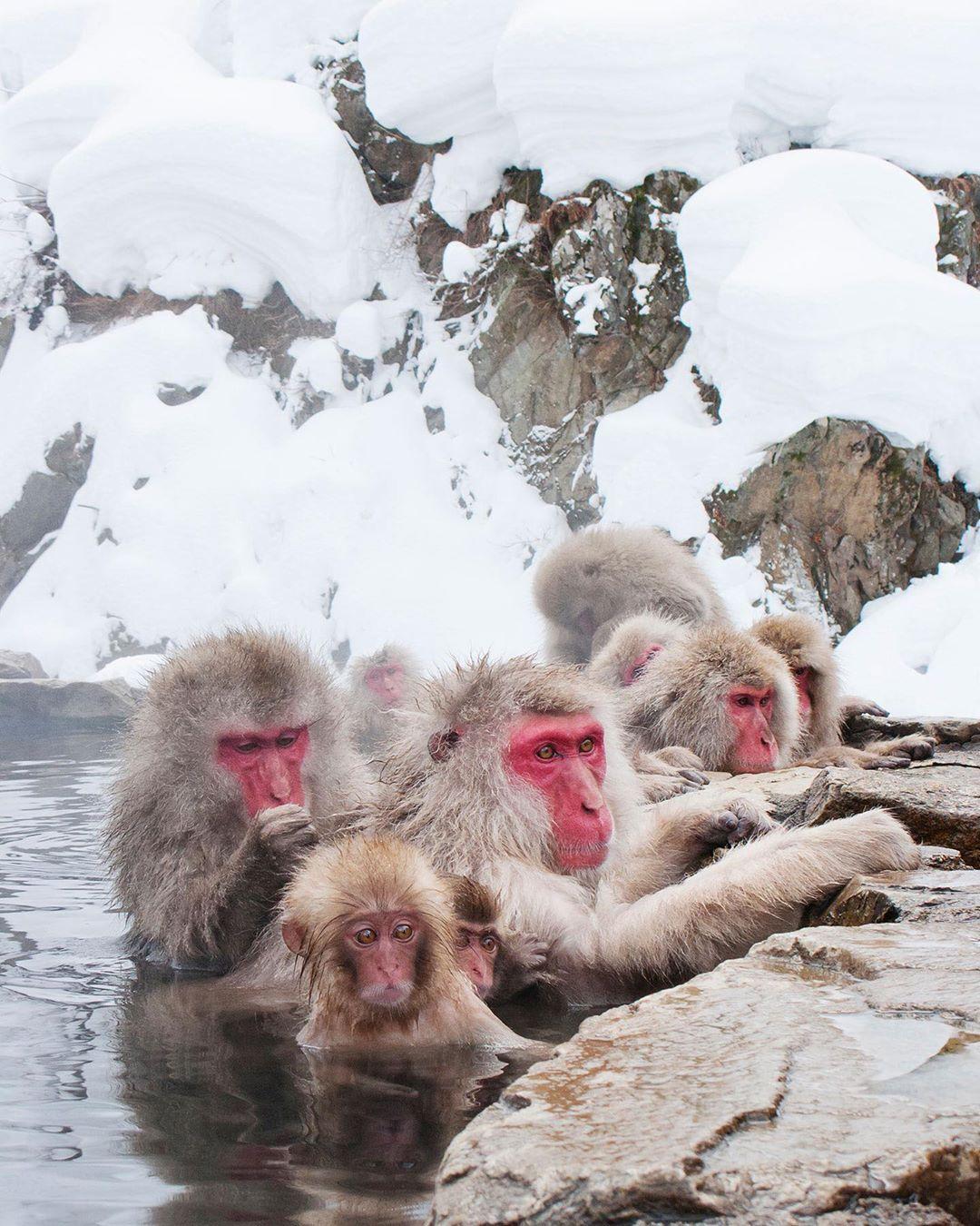 Snow Monkeys 01 Acrylglasbild 45 X 60 Cm 60 X 80 Cm Und 75 X 100 Cm Aussenmass Link In Bio Wandbild Birds Animals