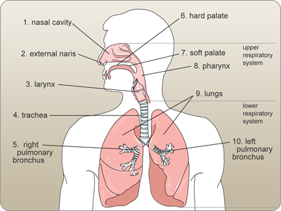 Labeled diagram of the respiratory system medical coding board labeled diagram of the respiratory system ccuart Choice Image
