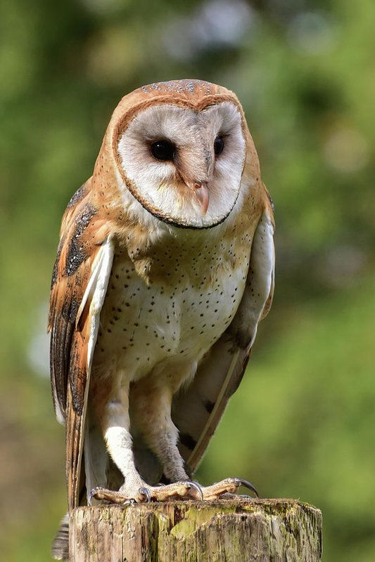A Portrait Of A Barn Owl, Perched On A Fence Post. Nature And Wildlife.  Wildlife ArtOffice DecorOriginal ...