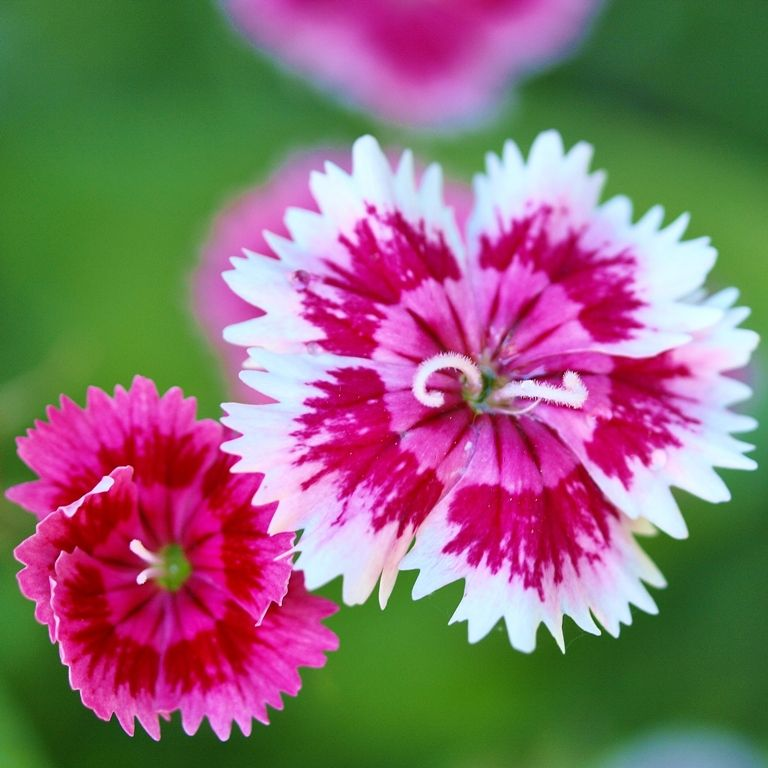 Image result for sweet williams flower