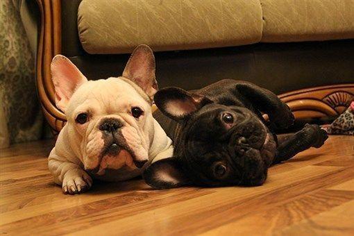 French Bulldog Two Muzzles Contemporary Photo Poster Adorable