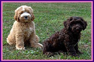 Ga Doodle Breeders Australian Labradoodle Puppies Dog Breeder
