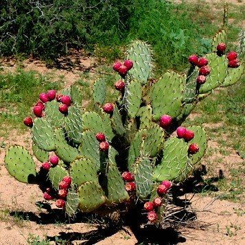 This showy Prickly Pear blooms orange flowers and bears loads of delicious fruit. They taste like figgy strawberries and can be eaten chilled or made into syrup and candy. Cactus Apple isn't just anot