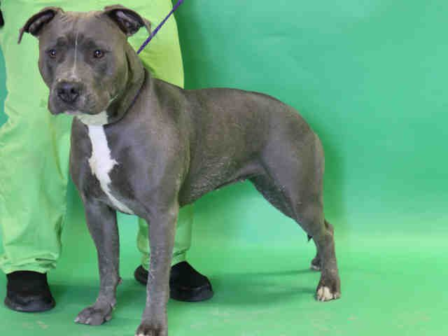 American Staffordshire Terrier Dog For Adoption In Salt Lake City