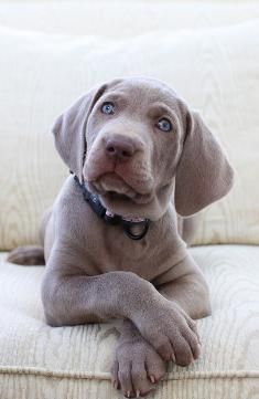 A Southern California Weimaraner Breeder Weimaraner Puppies Labrador Retriever Labrador Puppy