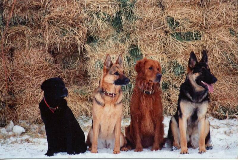 Great family companion. For the love of the breed!