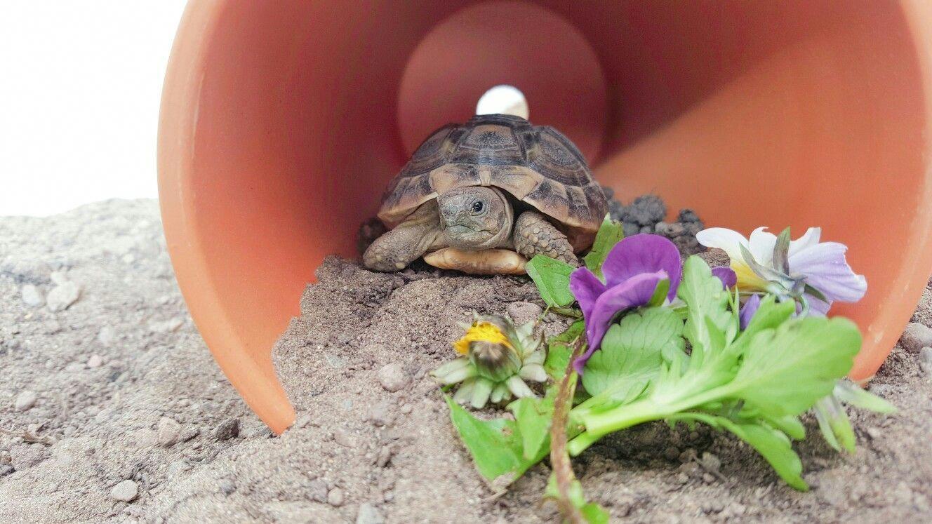 Breakfast time for baby darwin tortoise habitat