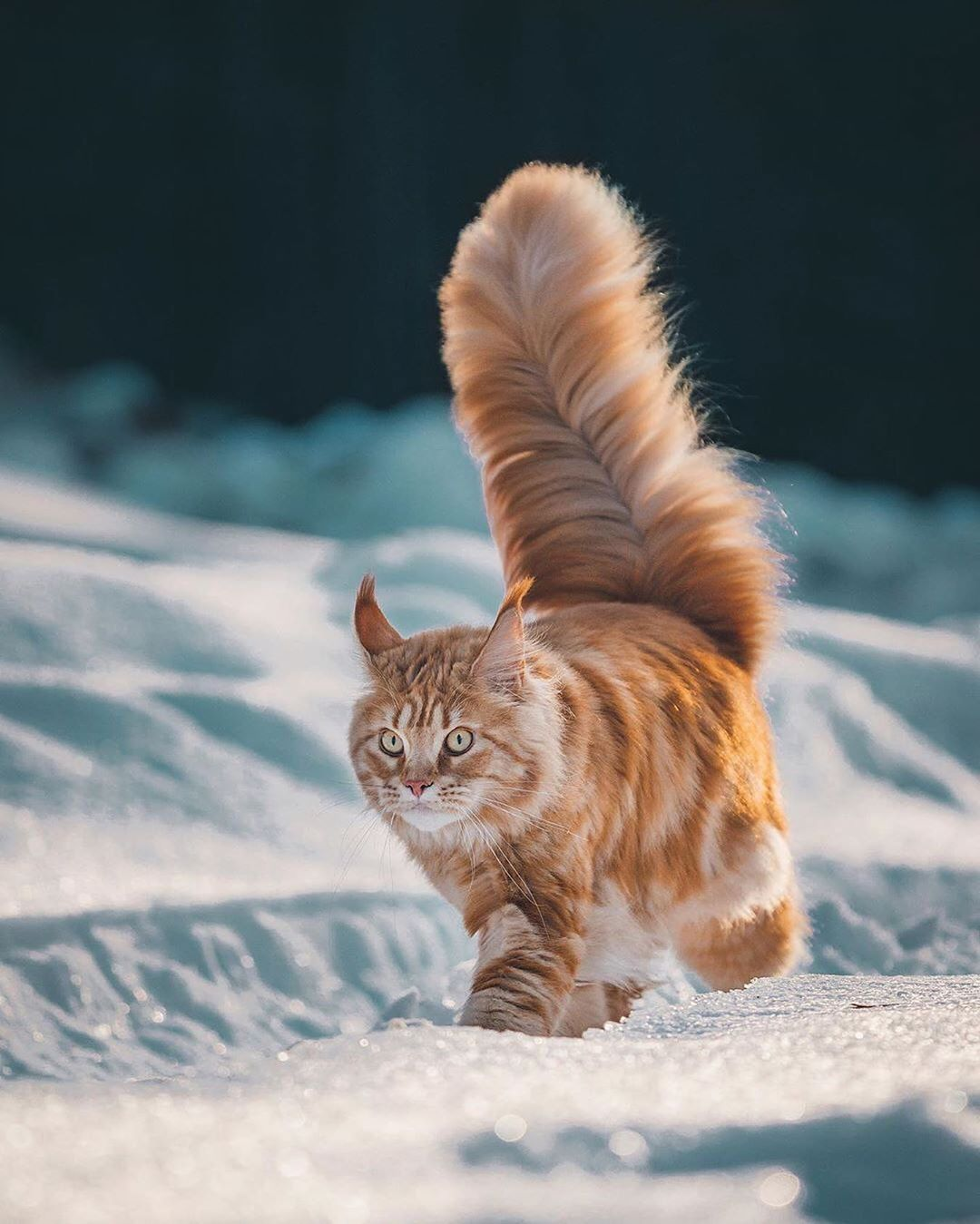 Awesome Travel Nature On Instagram Will This Tail Ever Stop Growing We Can Post Your Photos In Our Account Follo In 2020 Kittens Cutest Cool Cats Cute Animals