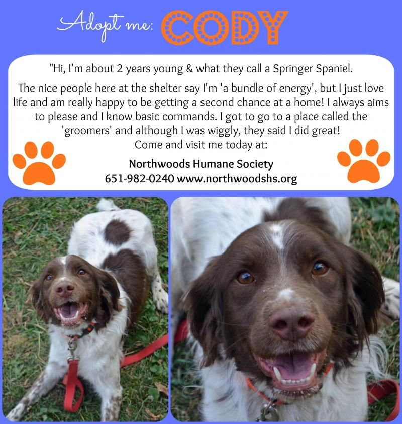 Adopt Cody On Animal Control Dog Adoption Springer Spaniel