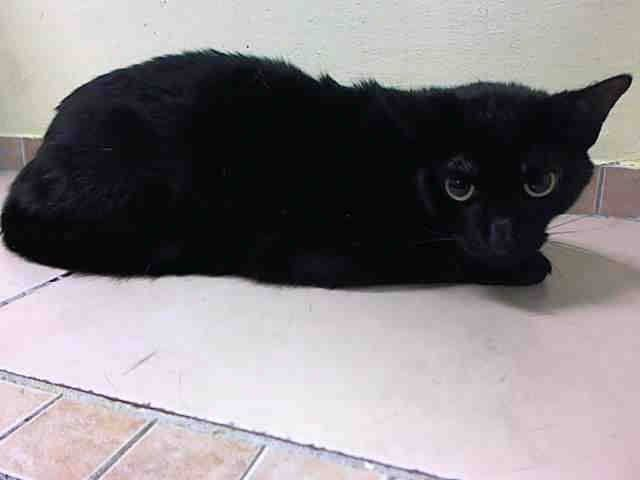 Adopted Rescued To Be Destroyed 4 17 15 Nyc Beautiful Panther