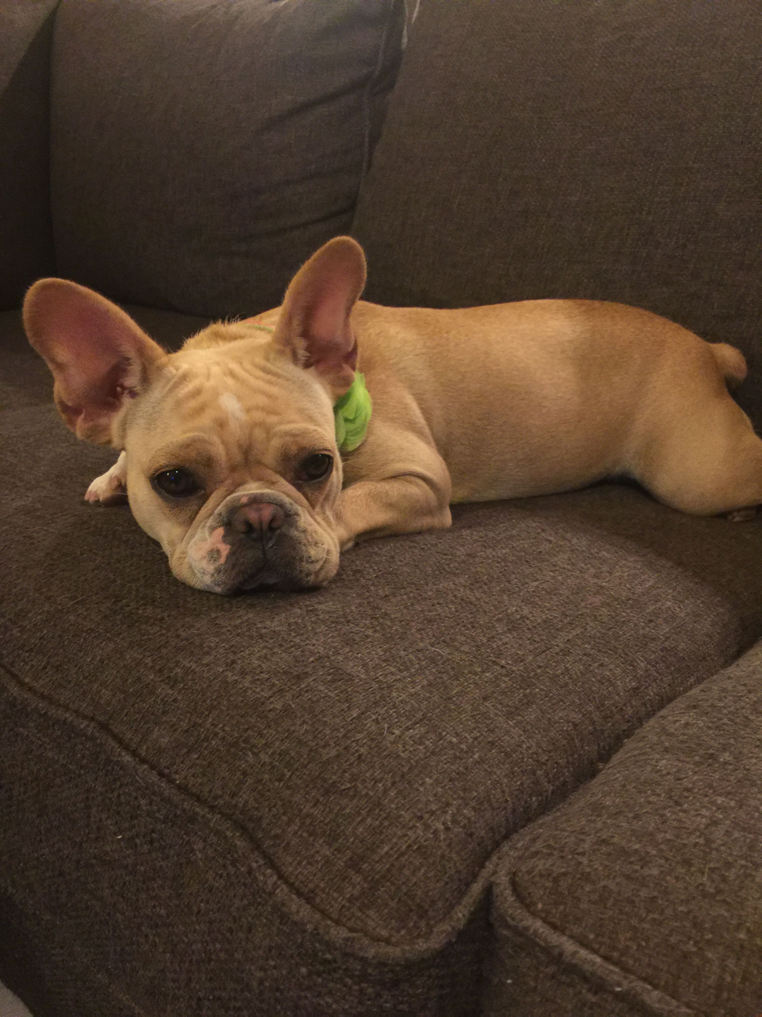 Lily the rescue frenchie lovepupjjr rescuefrenchie