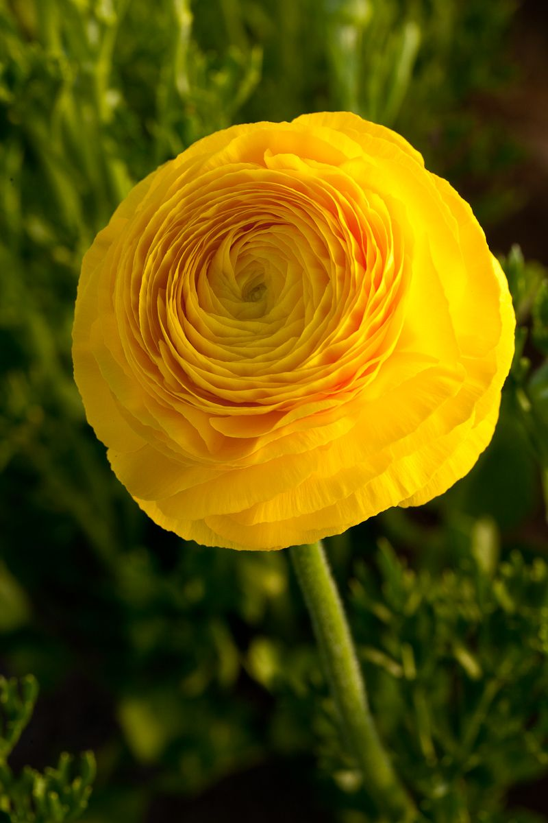 Springtime means ranunculus time ranunculus flowers and flower springtime means ranunculus time yellow flowersbeautiful mightylinksfo