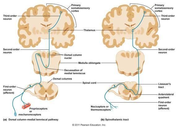 Somatosensory Pathways Figure 1 Ascending Pathways to the - spinothalamic tract