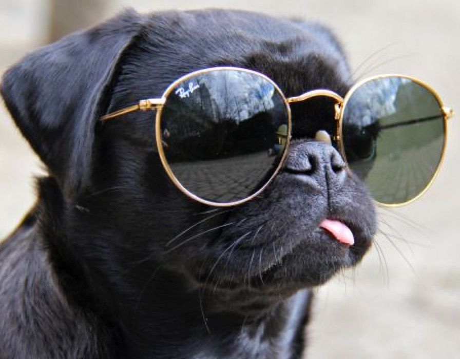 What Else   Chien - RayBan - lunettes - Soleil - Dog - Glasses ... f5c330aafae3