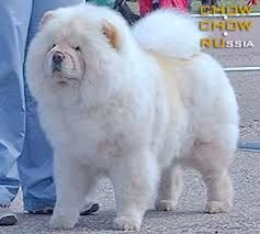 White Coarse Haired Chow Chow Very Rare Color Cute Animals Dogs