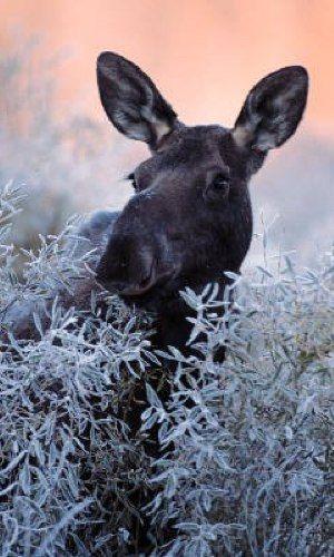 Winter Adventure - Algonquin Park. Moose!