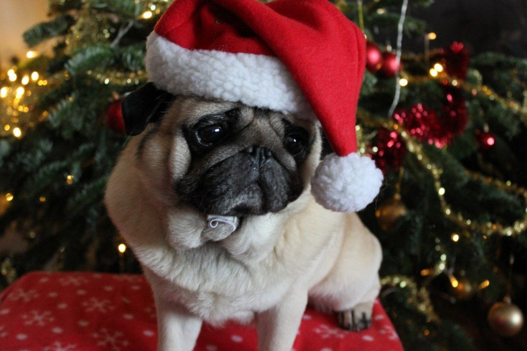 Pug Wallpaper, Screensaver, Background. Pug Christmas