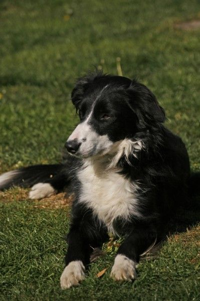 Fizz 3 Year Old Female Border Collie Available For Adoption
