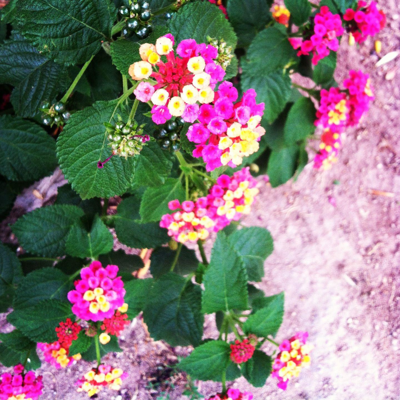 Pretty little flowers at unlv Little flowers, Flowers