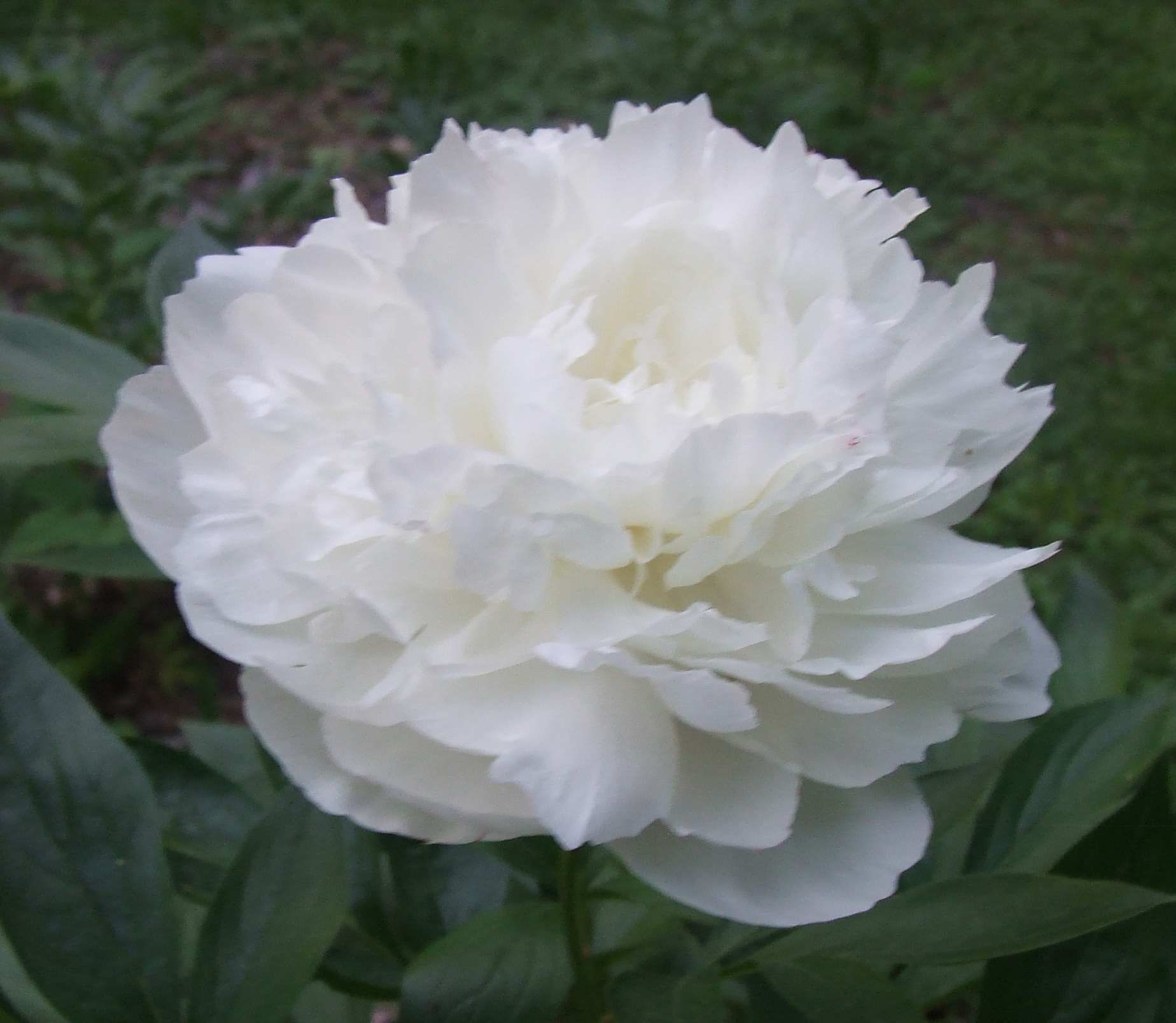 White Peonies Flower Above A Single White Peony Flower That Is