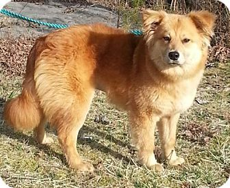 Spring Valley Ny Golden Retriever Chow Chow Mix Meet Vega A