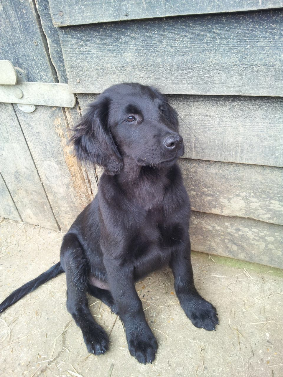 Flat Coated Retriever Sara Perros Y Animales