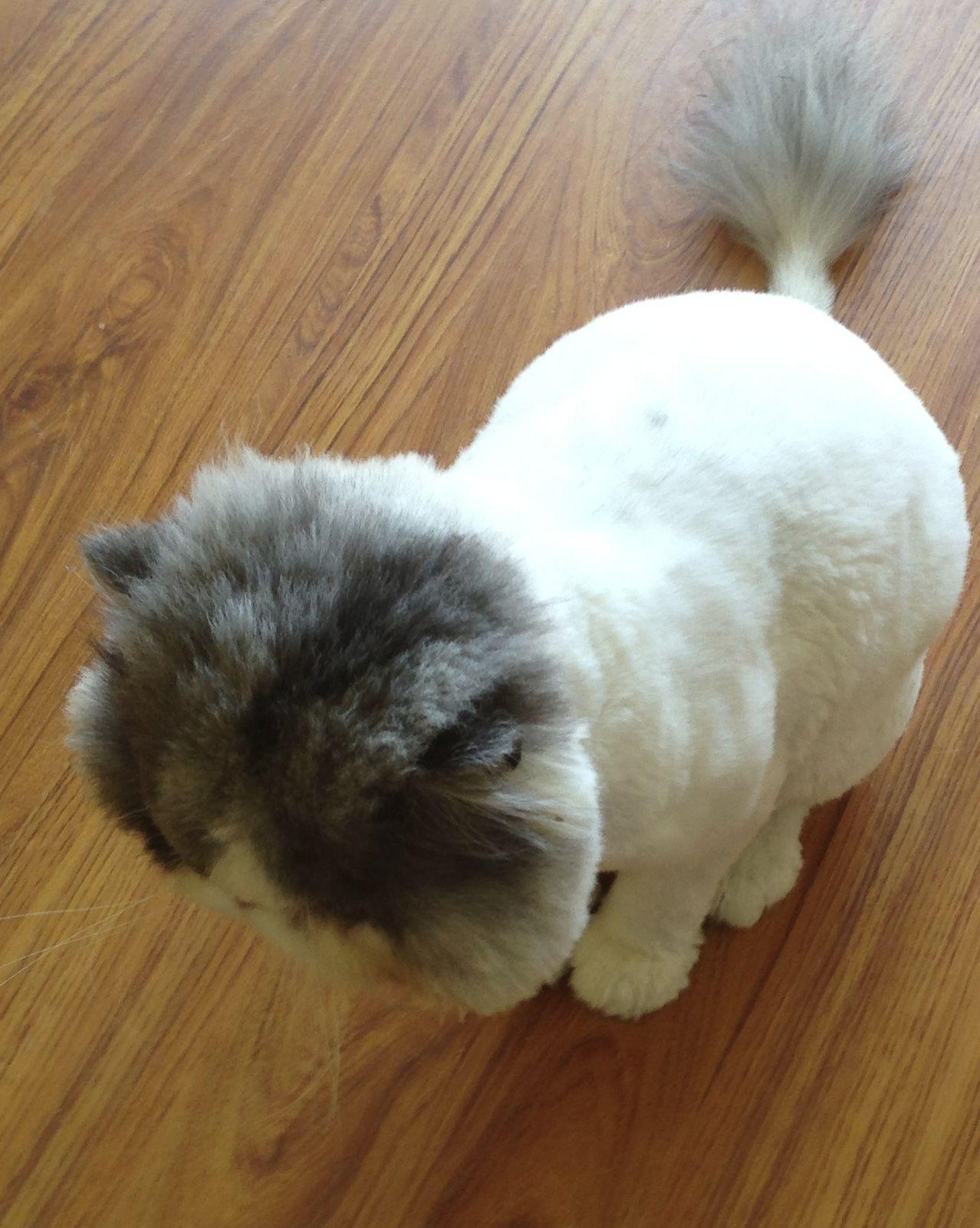 Persian Cat Haircut Persian Cat Cats Feral Cats