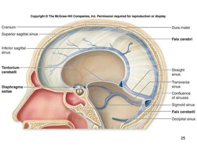 Venous Sinuses Neurosurgery Pinterest