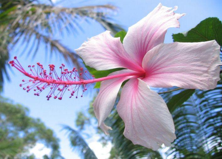 Arti Makna Dan Kegunaan Bunga Kembang Sepatu Hibiscus Http Bibitbunga Com Blog Arti Makna Dan Kegunaan Bunga Fleurs Hibiscus Hibiscus Fleurs Tropicales
