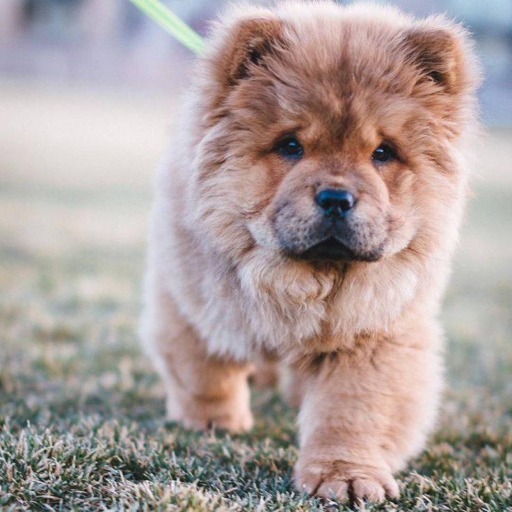 KaufmannsPuppy Puppy Love Pinterest Dog Animal And Pup - This instagram chow chow looks like a fluffy potato and its so cute it doesnt even look real