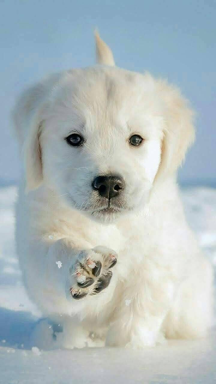 Cute Puppy Dog Animal Pets Cute Puppy Wallpaper Cute Baby Dogs Cute Animals