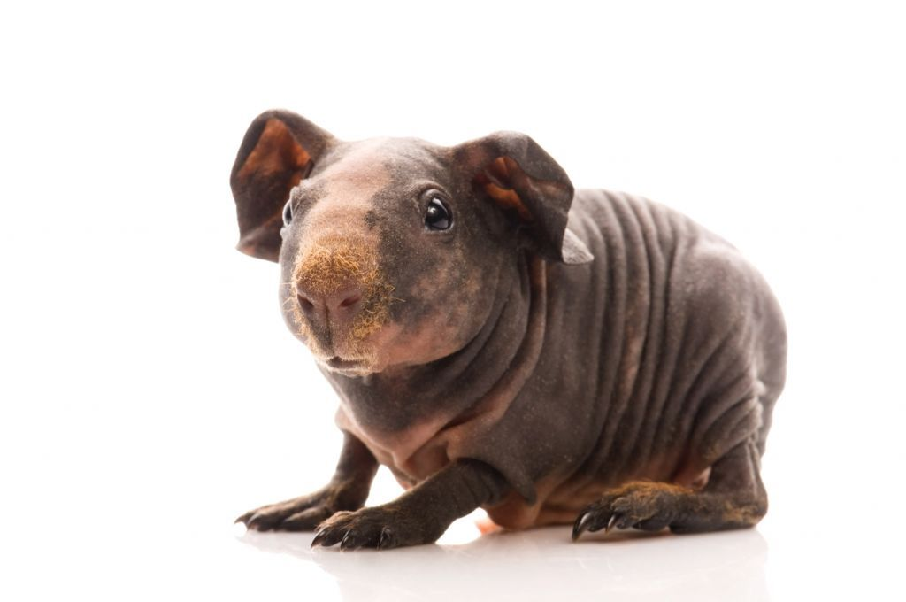 Pin On Baby Skinny Guinea Pigs