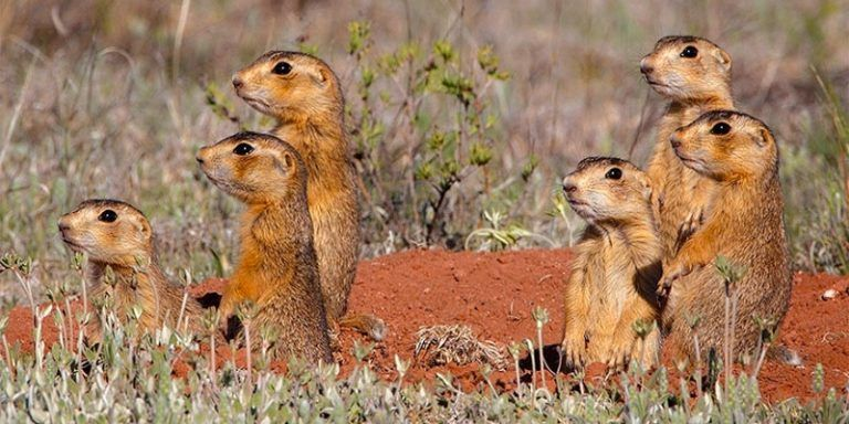 How to get rid of prairie dogs fast from your yard