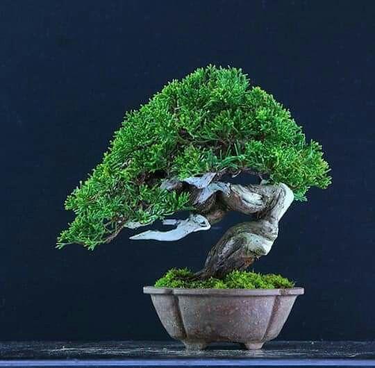 Pin By Eng Hassan Karimeh Casgroup On Bonsai Insp3 Indoor Bonsai Tree Bonsai Bonsai Plants