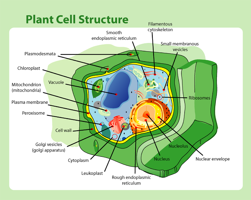 structure of a plant cell a visual guide [ 1024 x 815 Pixel ]