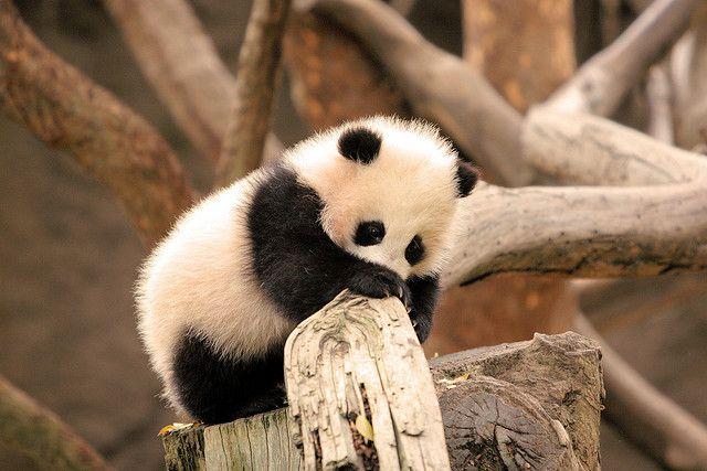 Zhen Zhen hard at work #babypandas