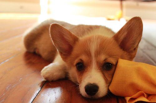 Pin By Gabriella Albanese On Corgi Love Cute Baby Animals Cute