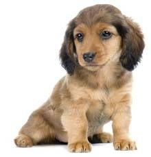Almost As Cute As My Lil Bru Bru Dachshund Puppies For Sale