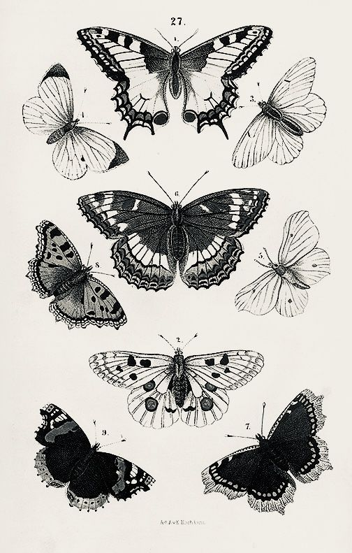 Moth Antique Framed Print Wall Art Museum Outlets Insect Art Moth Art Moth Illustration