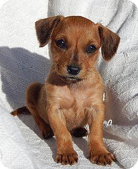Williamsport Md Dachshund Border Terrier Mix Meet Kimmy 1 5