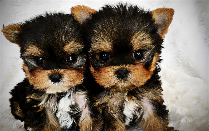 Download Wallpapers Yorkshire Terrier Puppies Cute Dog Twins